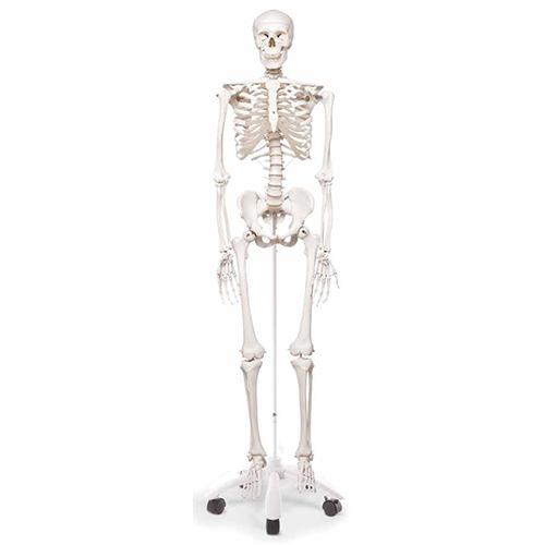 Esqueleto humano 28 3B Scientific